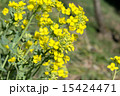 つぼみ 西洋油菜 菜の花の写真 15424471