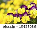 植物 花 パンジーの写真 15425036