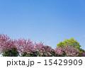 ケヤキ 八重桜 新緑の写真 15429909