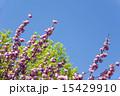 ケヤキ 八重桜 新緑の写真 15429910