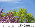 ケヤキ 八重桜 新緑の写真 15429911