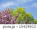 ケヤキ 八重桜 新緑の写真 15429912