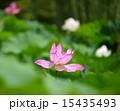 蓮の花 15435493