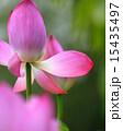 蓮の花 15435497
