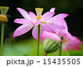 蓮の花 15435505