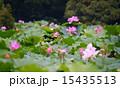 蓮の花 15435513