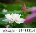 蓮の花 15435514