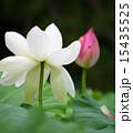 蓮の花 15435525
