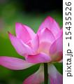 蓮の花 15435526