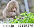 葉っぱの赤ちゃん 15436376