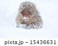 雪の赤ちゃん 15436631