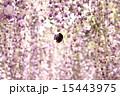 クマバチと藤 15443975
