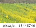 城陽市 土手 菜の花の写真 15446740