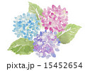 紫陽花 水彩イラスト 15452654