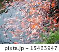 色鮮やかに泳ぐ鯉の群れ 15463947