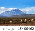 ハイランド地方 高原地方 動物の写真 15466462