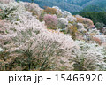 咲く 上千本 吉野桜の写真 15466920