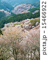 咲く 上千本 吉野桜の写真 15466922