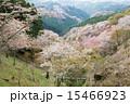 咲く 上千本 吉野桜の写真 15466923
