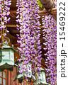 藤と燈籠 15469222