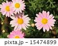 マーガレット(ピンク) 15474899