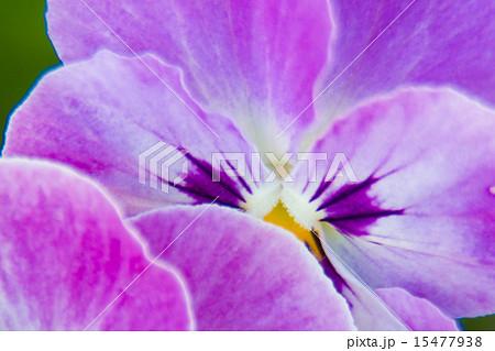 ビオラ.パンジーの花(マクロ) 15477938