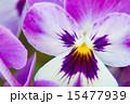 ビオラ パンジー 花の写真 15477939