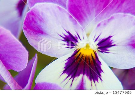 ビオラ.パンジーの花(マクロ) 15477939