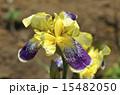 ジャーマンアイリス ドイツアヤメ アヤメ科の写真 15482050