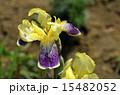 ジャーマンアイリス ドイツアヤメ アヤメ科の写真 15482052