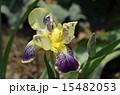 ジャーマンアイリス ドイツアヤメ アヤメ科の写真 15482053