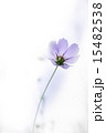 咲く 紫 秋桜の写真 15482538