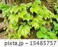 蔦の葉 15485757