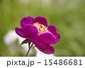 紅色芍薬 15486681