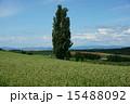 ケンとメリーの木 ポプラ 丘の写真 15488092