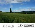 丘 ポプラ ケンとメリーの木の写真 15488093