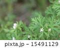 アメリカフウロの花01 15491129