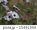 サンシキギリア ハナシノブ科 植物の写真 15491304