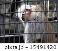 霊長類 哺乳類 ヒヒの写真 15491420