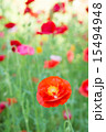 赤色 花 ポピーの写真 15494948