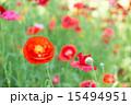 赤色 花 ポピーの写真 15494951