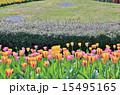チューリップの花園 15495165