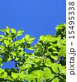 新緑 15495338
