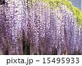 熊野の長藤 15495933