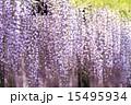 熊野の長藤 15495934