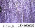 熊野の長藤 15495935