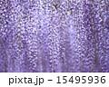 熊野の長藤 15495936