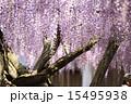 熊野の長藤 15495938