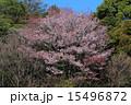 樹木 花 桜の写真 15496872