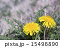 タンポポの黄色い花 15496890